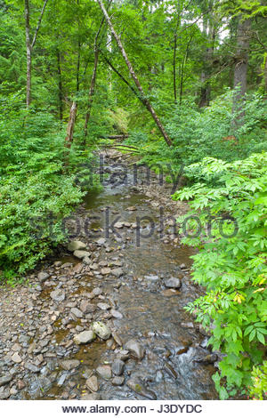 Stream flowing through lush green forest at Oswald West State Park, Tillamook County, Oregon, USA - Stock Photo