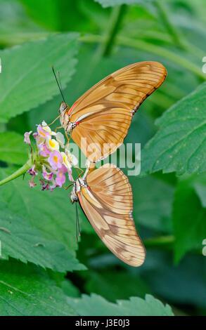Julia Butterflies (Dryas iulia) Paired - Stock Photo