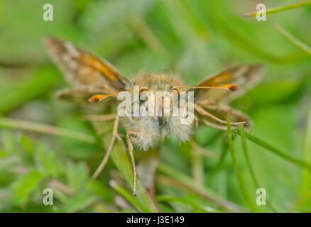 Head of Silver-spotted Skipper Butterfly (Hesperia comma). Sussex, UK - Stock Photo