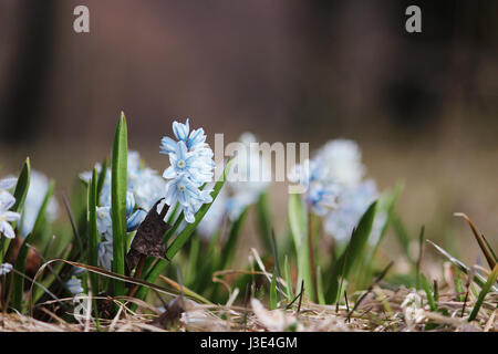 small white spring flowers close up Puschkinia scilloides  - Stock Photo