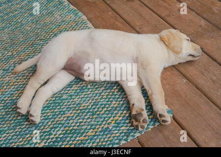 Yellow Labrador retriever puppy on a front porch. - Stock Photo