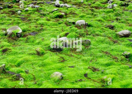 Fluorescent green sea lettuce (Ulva lactuca) seaweed and deadmans fingers (green fleece)  coating the rocky shore - Stock Photo