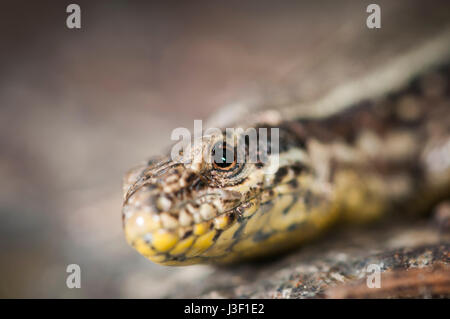 Lateral detail view of the head of a brown wall lizard (Podarcis muralis) sitting on a stone. - Stock Photo