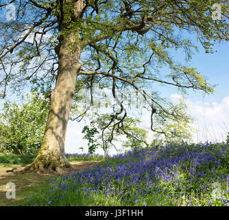 English Bluebells in an ancient beech and oak tree wood. Oxfordshire, England - Stock Photo