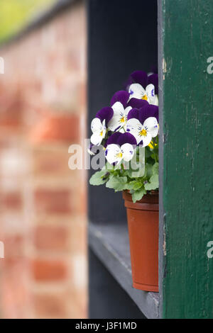 Purple and white violets in a flower pot. UK - Stock Photo