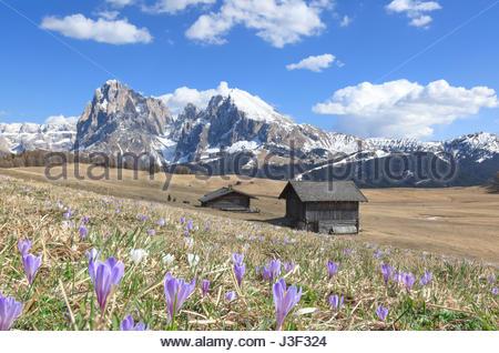 Europe, Italy, Alpe di Siusi/Seiser Alm, Dolomites, South Tyrol, Spring on the Alpe di Siusi with the peaks of Sassolungo/Langkofel - Stock Photo
