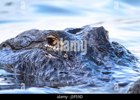 A 12 foot alligator patrols the waters in the Florida Everglades. This was a 12 footer and frequents the same area. - Stock Photo