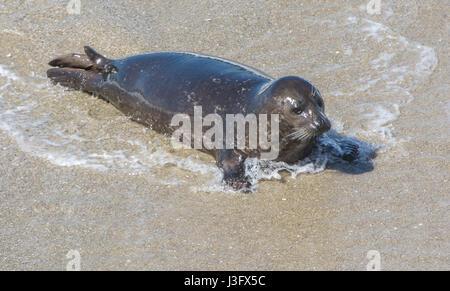 A California Sea Lion pup - Stock Photo