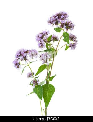 Flowering  Oregano (Origanum vulgare) isolated on a white background - Stock Photo