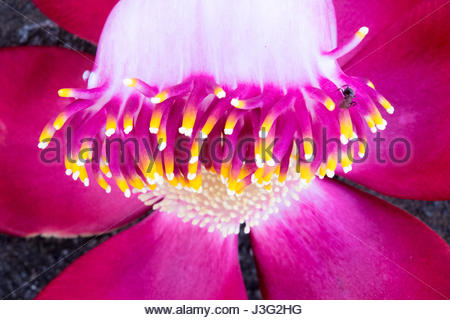 Close up macro of ant moving in the flower of the Cannonball tree. Couroupita guianensis, known by several common - Stock Photo
