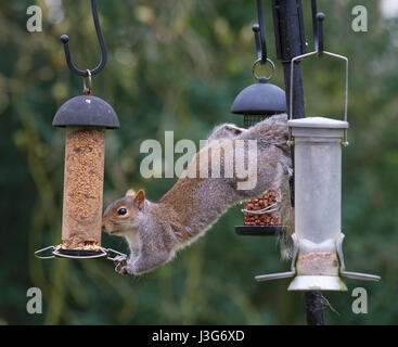 Grey squirrel on garden bird feeder, Shropshire, England, UK - Stock Photo