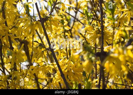 Yellow Forsythia - Stock Photo