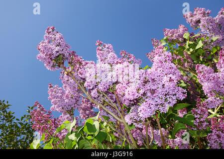 Purple Lilac in flower Syringa vulgaris Britain Uk - Stock Photo
