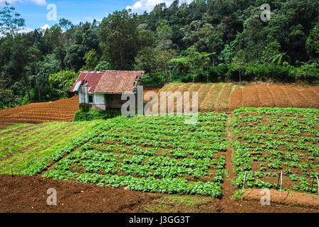 A hut in the middle of vegetable farm just outside Gede Pangrango National Park's boundary in West Java, Indonesia. - Stock Photo