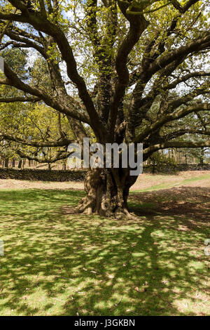 Light and shade under spreading branches of large old English Oak tree in Bradgate Park, Leicestershire, England, - Stock Photo