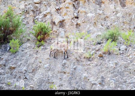 Capra pyrenaica. Spanish ibex. Foreground of goat in a mountain near to Montanejos, province of Castellon (Valencian - Stock Photo
