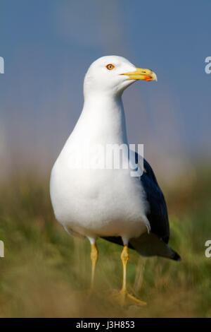 The yellow-legged gull colony on Brijuni National Park - Stock Photo