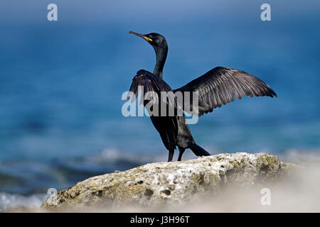 Shag from Brijuni National Park - Stock Photo