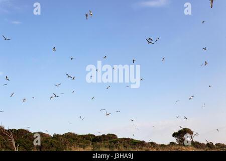 yellow-legged gull colony on Brijuni National Park - Stock Photo