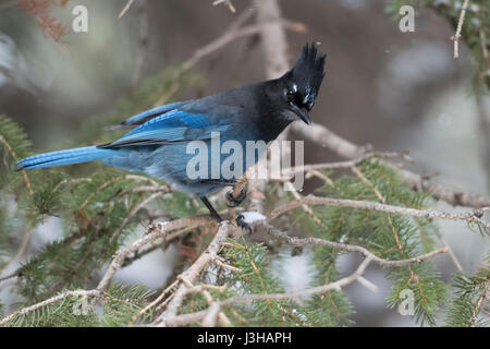 Steller's Jay ( Cyanocitta stelleri ) in winter, perched in a conifer tree, watching down to the ground, curious, - Stock Photo