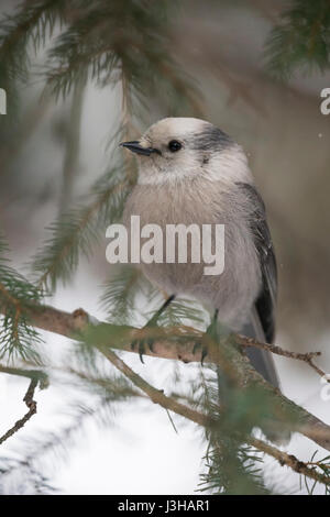 Grey Jay ( Perisoreus canadensis ) in winter, perched in the twigs of a conifer tree, frontal shot, Yellowstone - Stock Photo