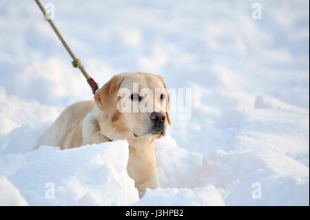 A Dog playing In the Snow - Stock Photo