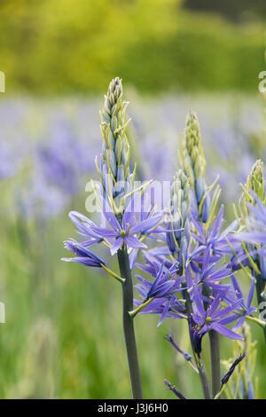 camas quamash wild hyacinth flowers stock photo
