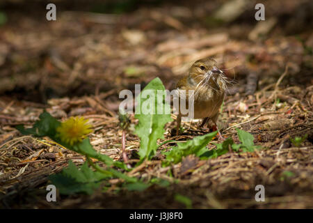 UK Wildlife:  Female chaffinch collecting dog hair for a nest, Yorkshire - Stock Photo