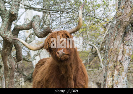 funny highland cow scratching on branch