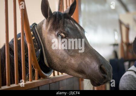 United Arab Emirates - Arabian Horse with crazy eye at Sharjah Equestrian Club - Stock Photo