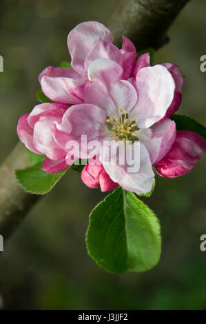 Apple blossom and new leaves on a Bramley apple tree in spring - Stock Photo