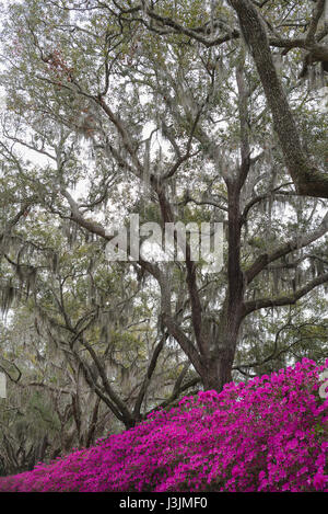 Azaleas in Savannah, Georgia. - Stock Photo