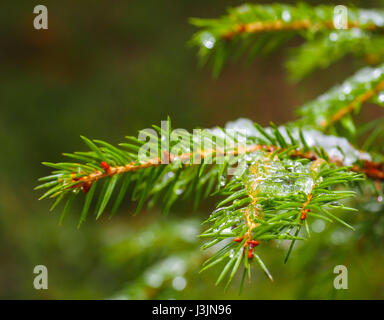 Closeup of spruce with ice with beautiful bokeh, isolated towards green lush foliage - Stock Photo