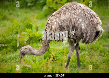 Emu  (Dromaius novaehollandiae) grazing in field. - Stock Photo