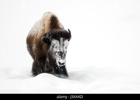 American Bison / Amerikanischer Bison ( Bison bison ) in winter, crusted with snow, frontal view, Yellowstone National - Stock Photo