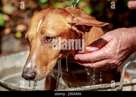 Washing a red haired dog (andalusian hound breed) into a metal basin at garden - Stock Photo