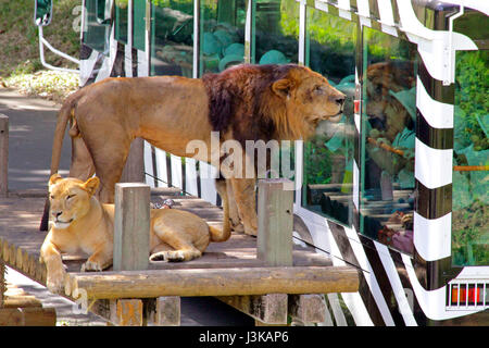 Lion Bus at Tama Zoological Park Hino city Tokyo Japan Stock Photo, Royalty F...