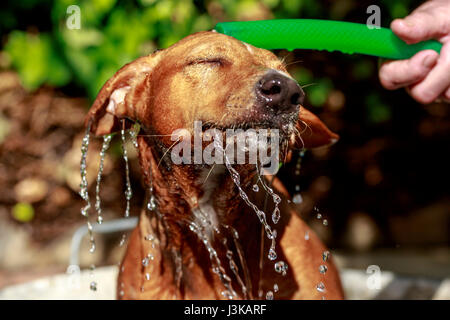 Red haired andalusian hound dog is happy while takes a bath at garden in a hot summer day - Stock Photo