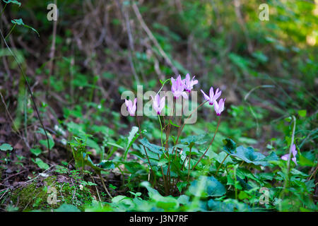 A cluster of first purple cyclamens in spring under sunset rays of sun - Stock Photo