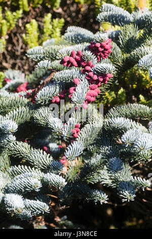Red spring cones contrast with the silvery foliage of the evergreen fir, Abies procera 'Glauca Prostrata' - Stock Photo