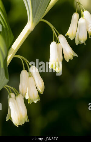 Close up of the late spring flowers of the Solomon's Seal, Polygonatum x hybridum - Stock Photo