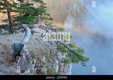 Kiefer, Pinus spec., Kalkfels, Kalkstein, Donautal, Naturpark Obere Donau, Baden-Wuerttemberg, Deutschland, Europa