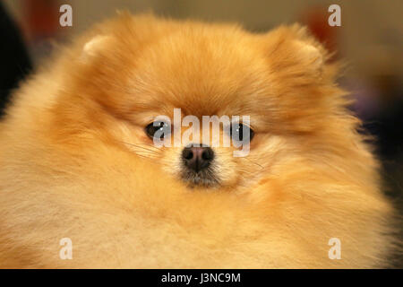 London, UK. 6th May, 2017. Queenie the Pomeranian at the National Pet Show, Excel, London, UK Credit: Paul Brown/Alamy - Stock Photo