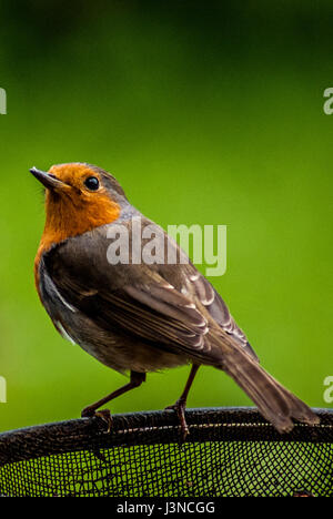 Leominster, Herefordshire. 6th May 2017. A European robin (Erithacus rubecula), known simply as the robin or robin - Stock Photo