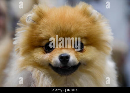 London, UK. 6th May, 2017.  Diva the Pomeranian on display at the National Pet Show taking place at Excel Centre - Stock Photo