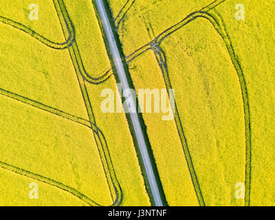 Beautiful top-down drone aerial view of yellow rapeseed field in flowers with a road and geometric tractor tracks