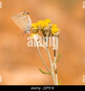 Gerhard's Black Hairstreak (Satyrium abdominalis) is a butterfly in the family Lycaenidae. Photographed in Israel - Stock Photo