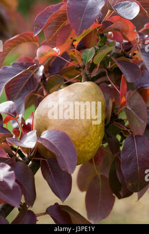 Pyrus communis Beurre Henri Courcelle. Pear on a tree. - Stock Photo