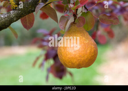 Pyrus communis 'Durondeau'. Pear on a tree. - Stock Photo