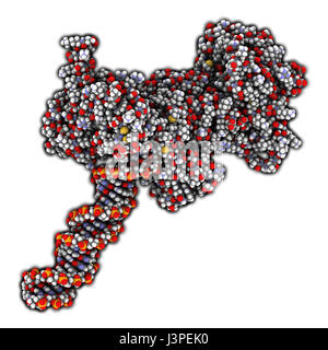 Poly (ADP-ribose) polymerase 1 (PARP-1) DNA damage detection protein. Target of cancer drug development. Atoms are - Stock Photo
